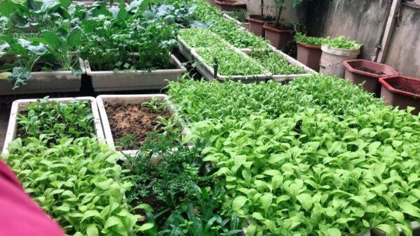 trồng rau trên sân thượng